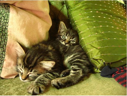 cute manx kittens playing