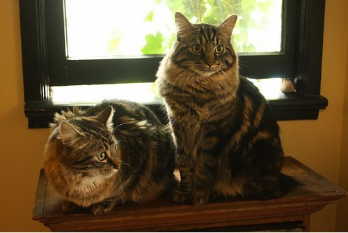cute manx cats looking very fluffy