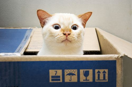 cute funny burmese cat sticking out from a box