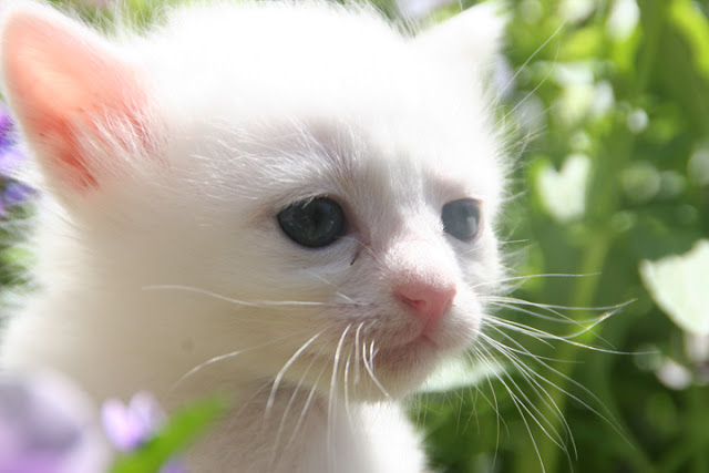 cute white kitten cat pic