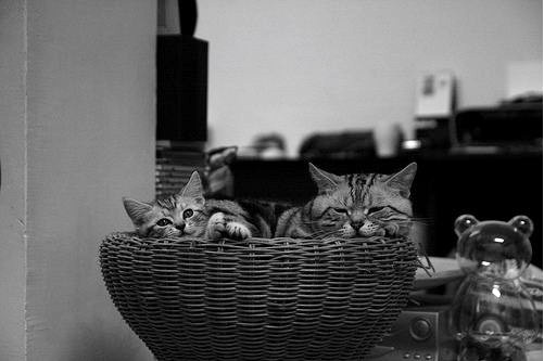 cute american shorthair kitten and cat relaxing