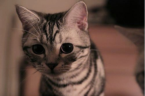 cute american shorthair kitty