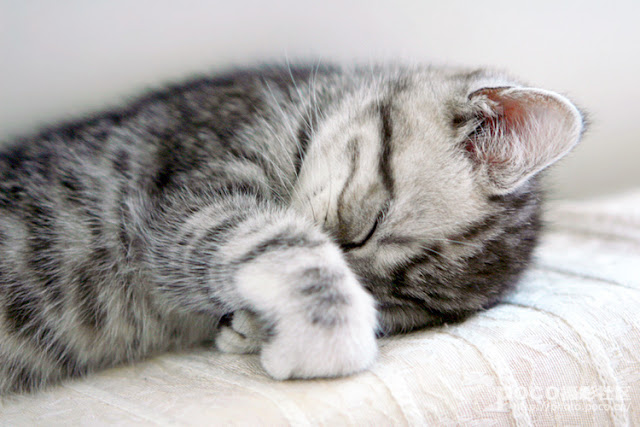 cute american shorthair taking a snooze
