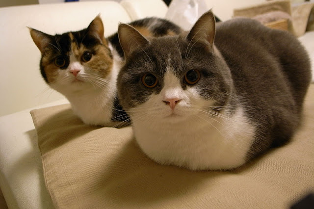 cute bro and sis scottish fold cats