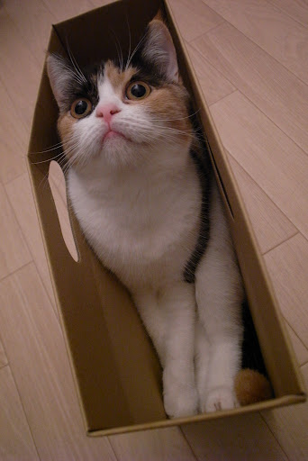 cute calico cat hiding in a box