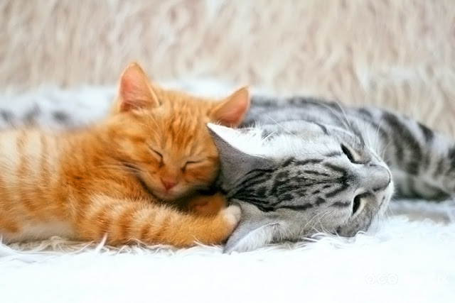 cute ginger kitten and american shorthair tabby cat