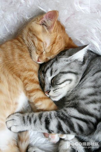 cute ginger kitten and american shorthair cat