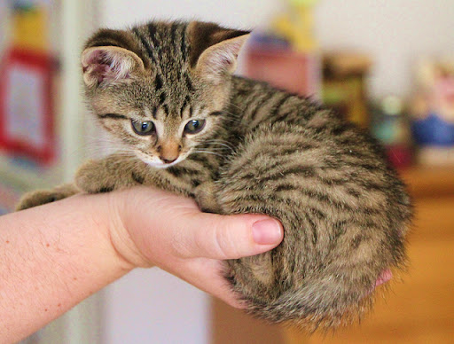 holding a cute tiny tabby kitten in one hand