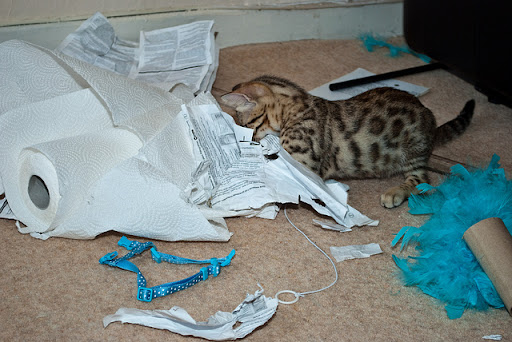 cute bengal kitten destroying documents