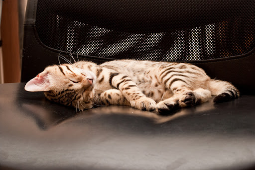 cute bengal kitten taking a nap