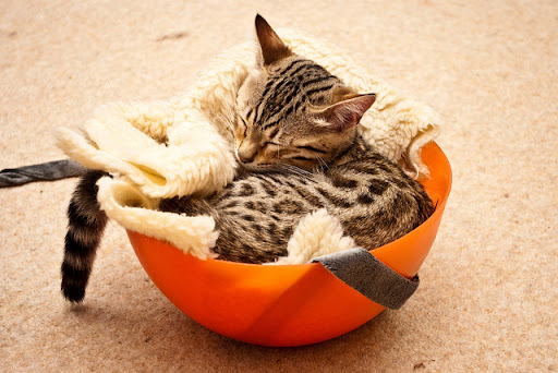cute bengal kitten napping in a bowl