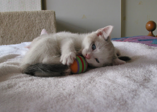 cute white kitten playing with a ball