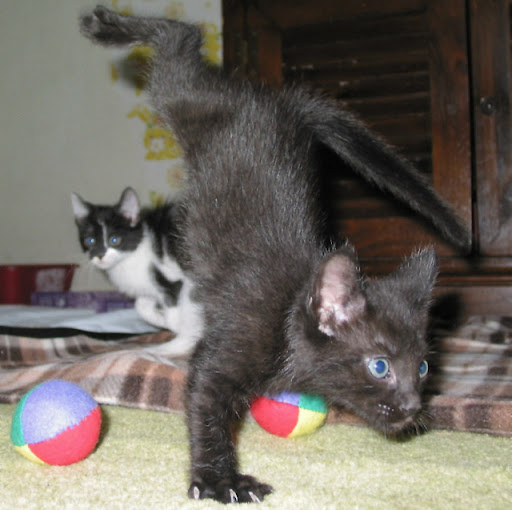 cute black kitten doing break dancing