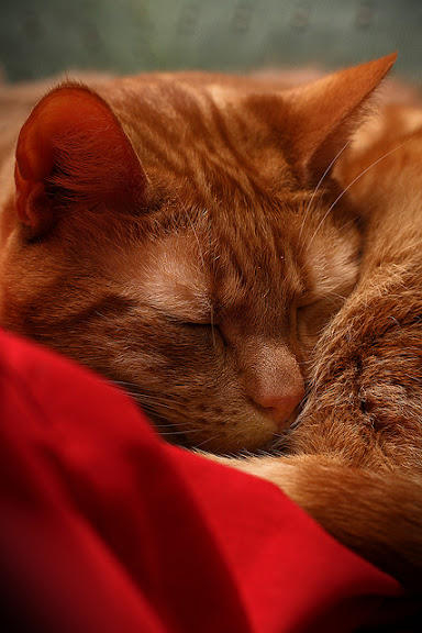 cute ginger cat napping