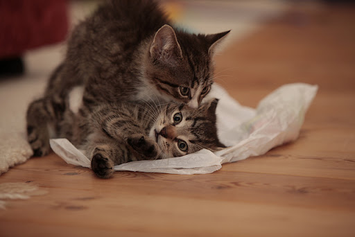 cute tabby kittens