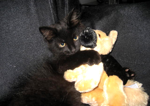 cute black kitten cuddling teddy bear