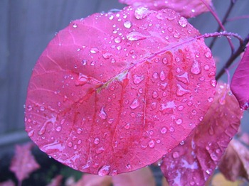 Rain_on_a_smoke_tree_leaf