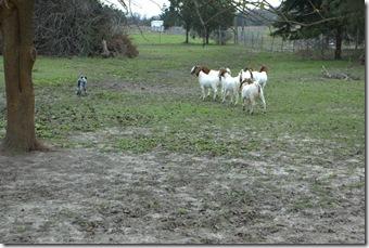 goats 079