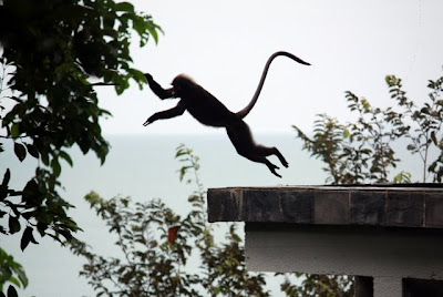 Monkey jumping in the trees in Langkawi Malaysia