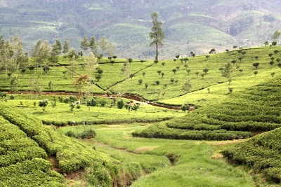 Tea plantation on a Ceylon tea tour in Sri Lanka