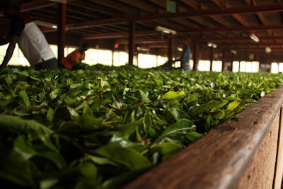 Leaves at a Sri Lankan tea factory
