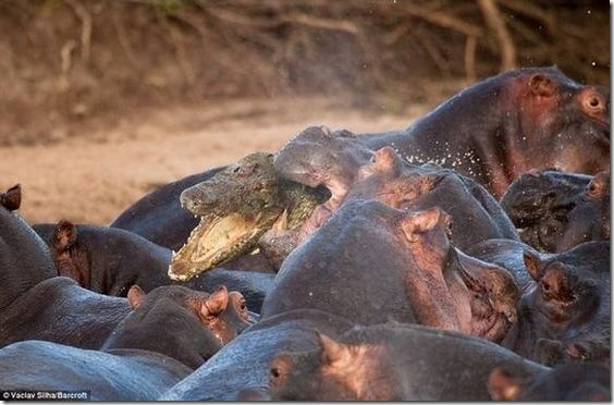 hippo-attacked-the-crocodile04