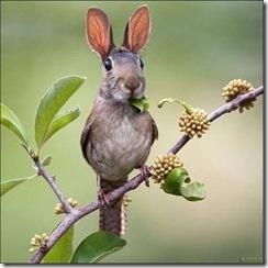 coelho voador