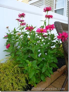 planted zinnia