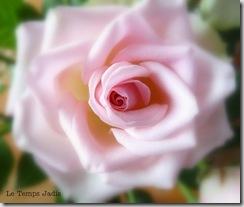 aankopen en rozen 008