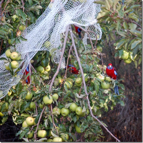 parrots in apple tree