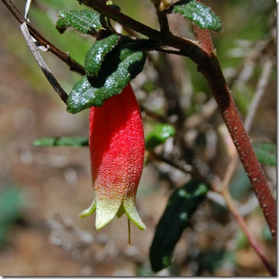 Grampians - common correa