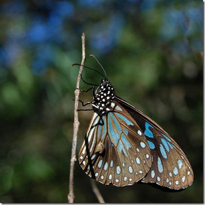 butterfly Hinchinbrook