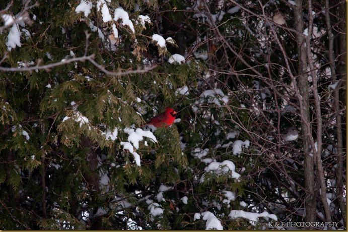 cardinal (1 of 5)