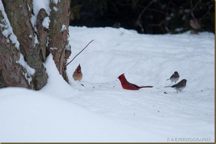 cardinal (3 of 5)