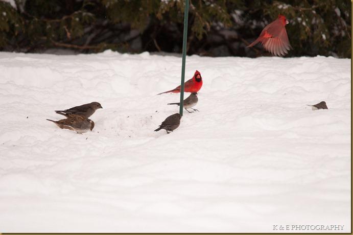 cardinal (5 of 5)