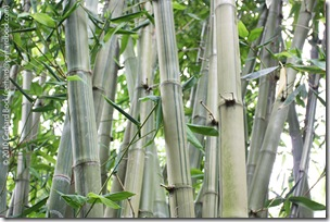 Dendrocalamus latiflorus 'Mei-nung'