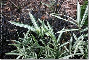Pleioblastus-variegata-at-Royal-Botanic-Gardens-Syndey-091227_sm