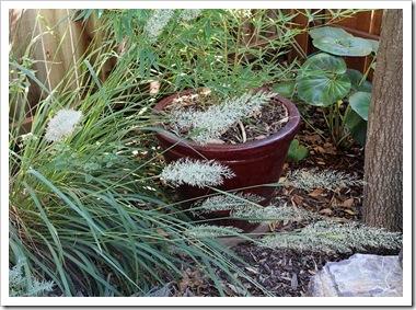 101026_Calamagrostis_arundinacea_Brachytricha