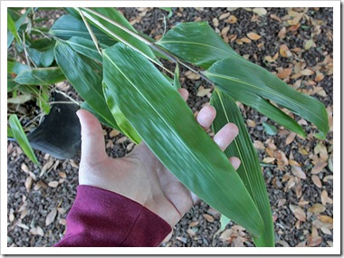101112_indocalamus_tessellatus_leaves