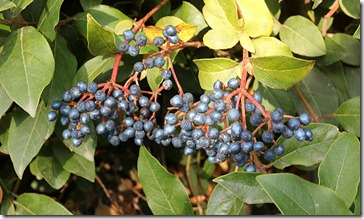101104_blue_bush_berries
