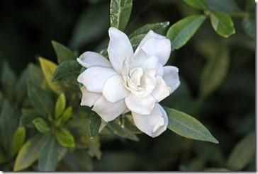 101114_gardenia