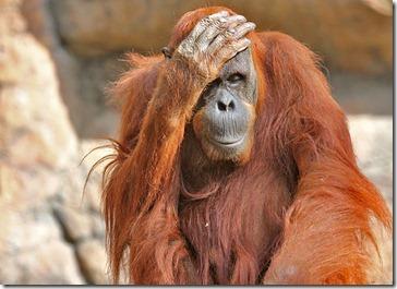 101114_orangutan2