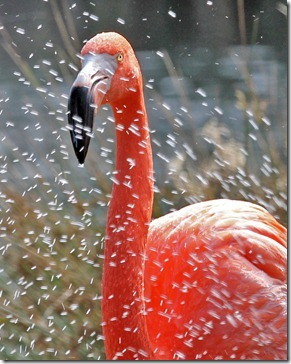 101114_flamingo_with_waterdrops2