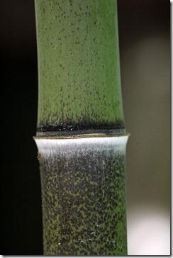 - 101114_blackbamboo_closeup2_thumb