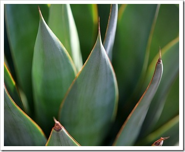 101020_agave_blue_glow