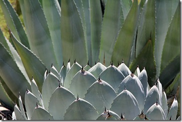 Agave parryi var. truncata with Agave americana
