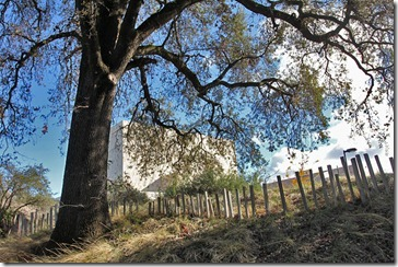 101121_UCDA_valley_oak mondavi_center