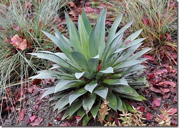 101218_Agave-Red-Margin
