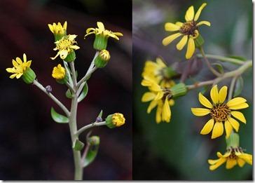 101219_farfugium-giganteum-flower1 2