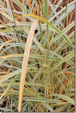 101208_Miscanthus sinensis Dixieland